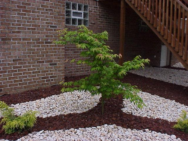 japanese maple tree. Green Japanese Maple Tree