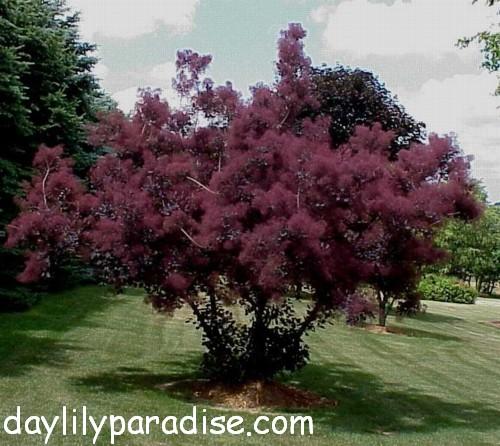 Purple Smoke Tree